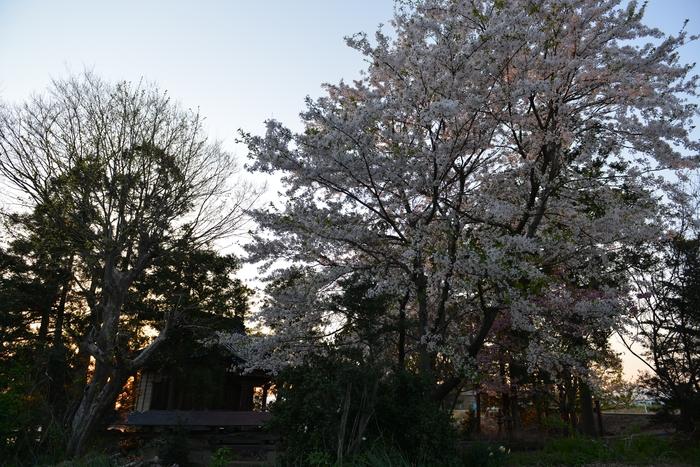 大権現と桜-3