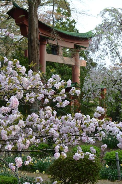弥彦の桜-Ⅴ-1