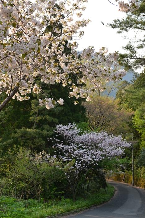 弥彦の桜-Ⅴ-2