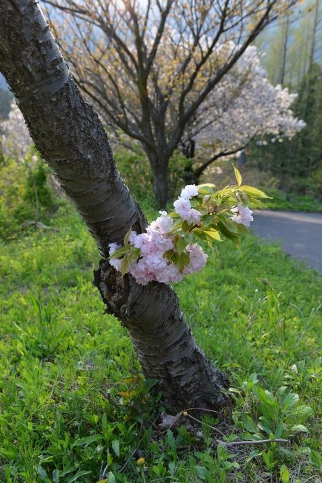 弥彦の桜-Ⅴ-3