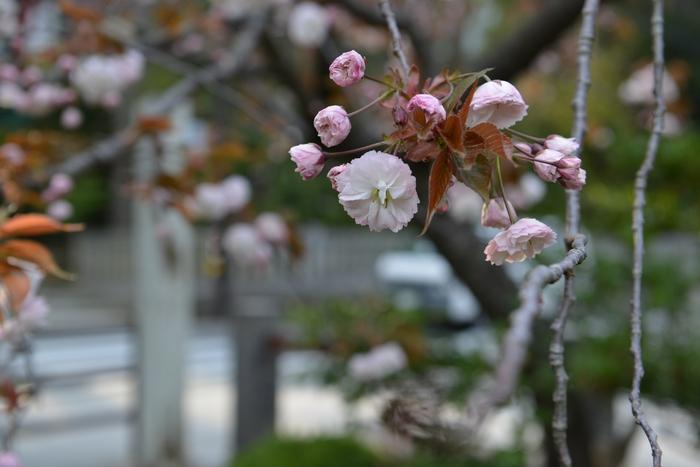 桜園の桜-1