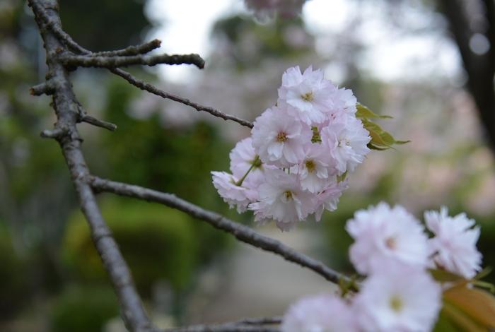 桜園の桜-2