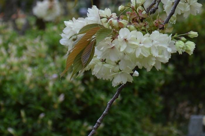 桜園の桜-3