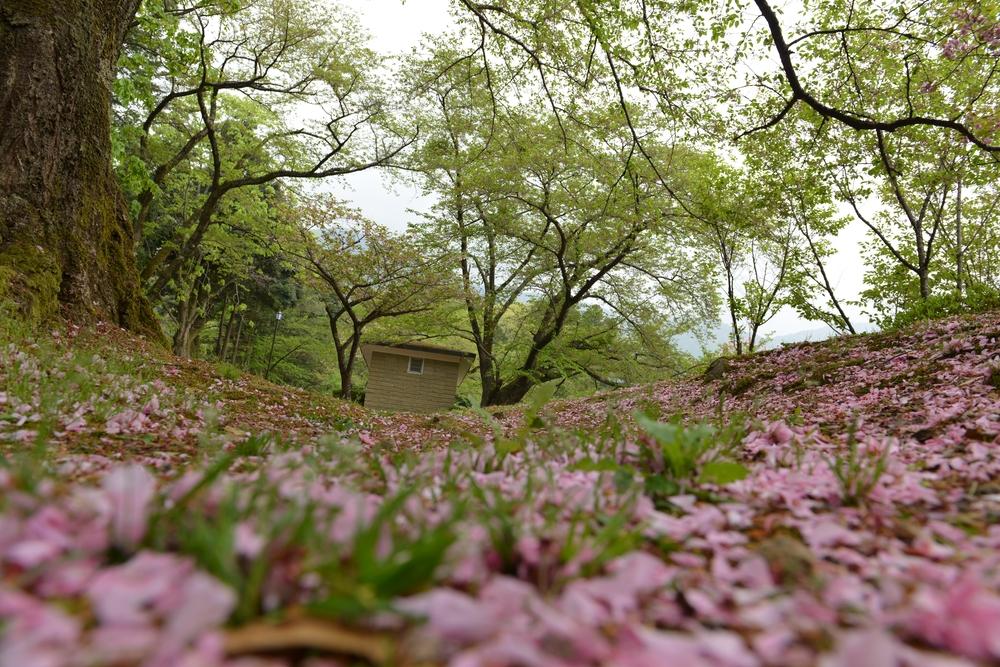 八重桜散る-1