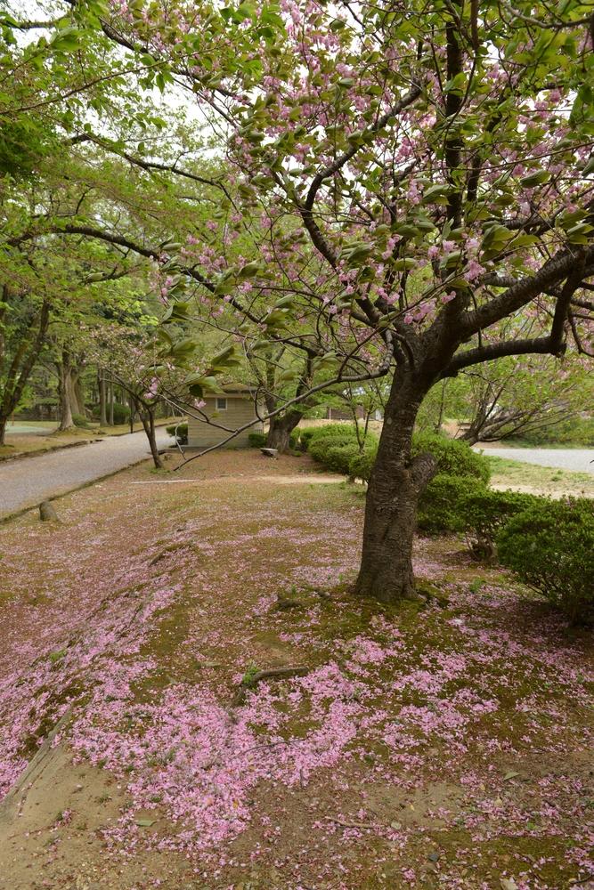 八重桜散る-2