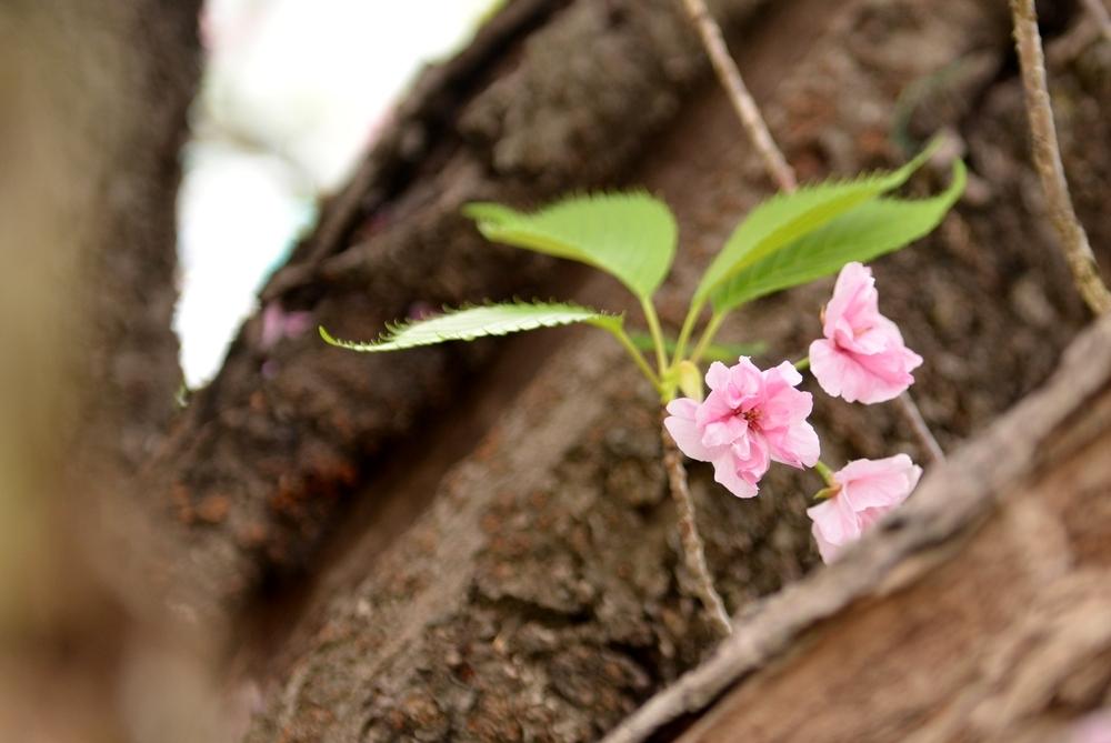 八重桜散る-3