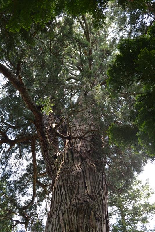 1200年杉-3
