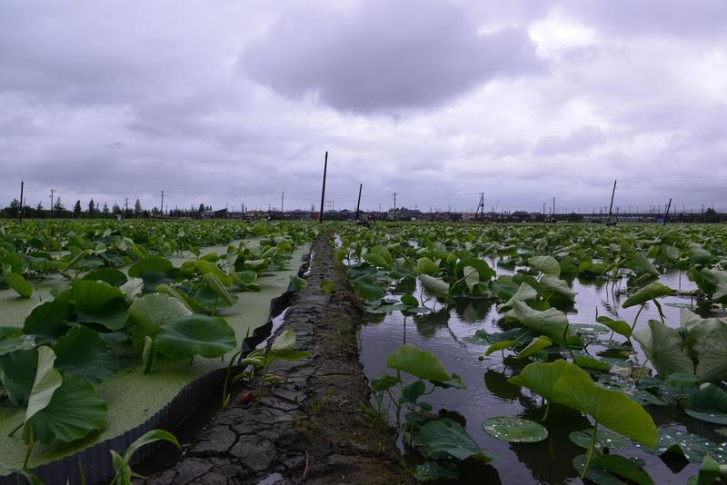梅雨空の下 レンコン畑-1