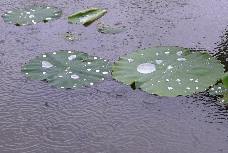 梅雨空の下 レンコン畑-3