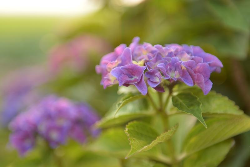紫陽花の季節-1