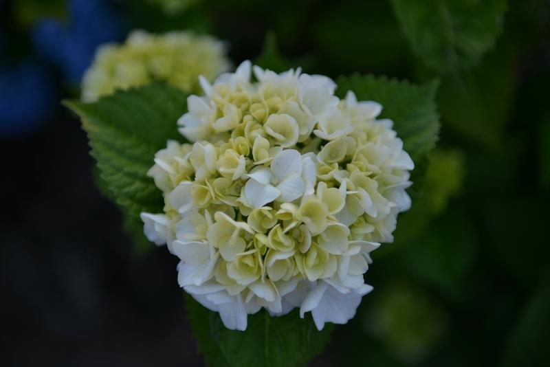 紫陽花の季節-2