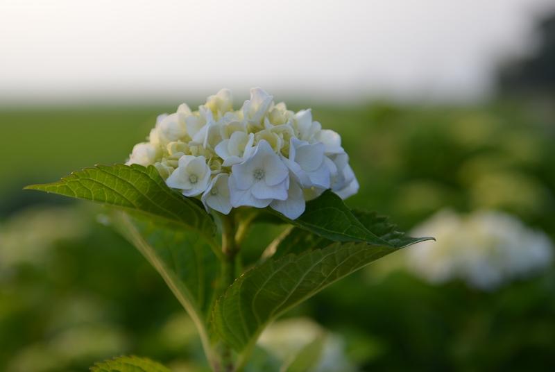 紫陽花の季節-3