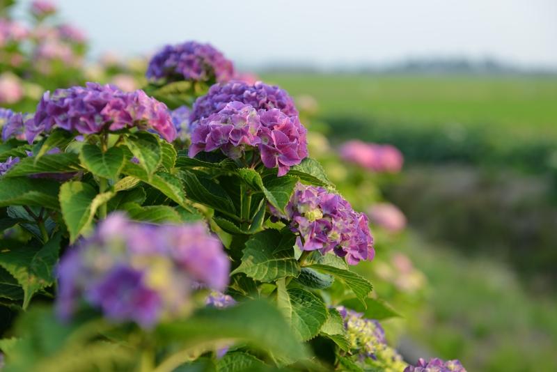 紫陽花 そのⅡ-1