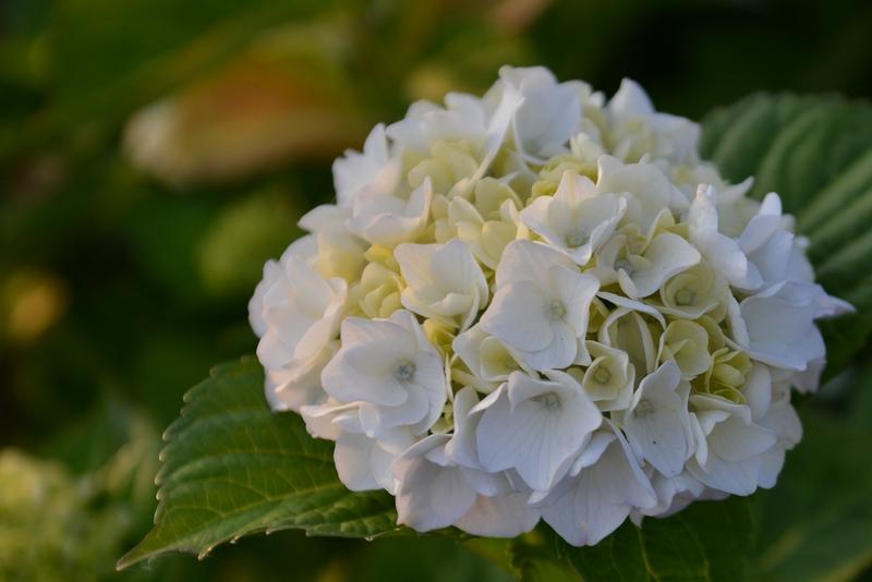 紫陽花 そのⅡ-2