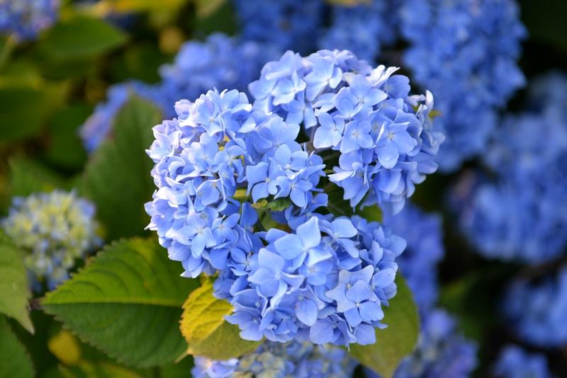 紫陽花 そのⅡ-3