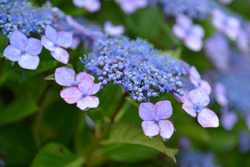 雨の紫陽花-1
