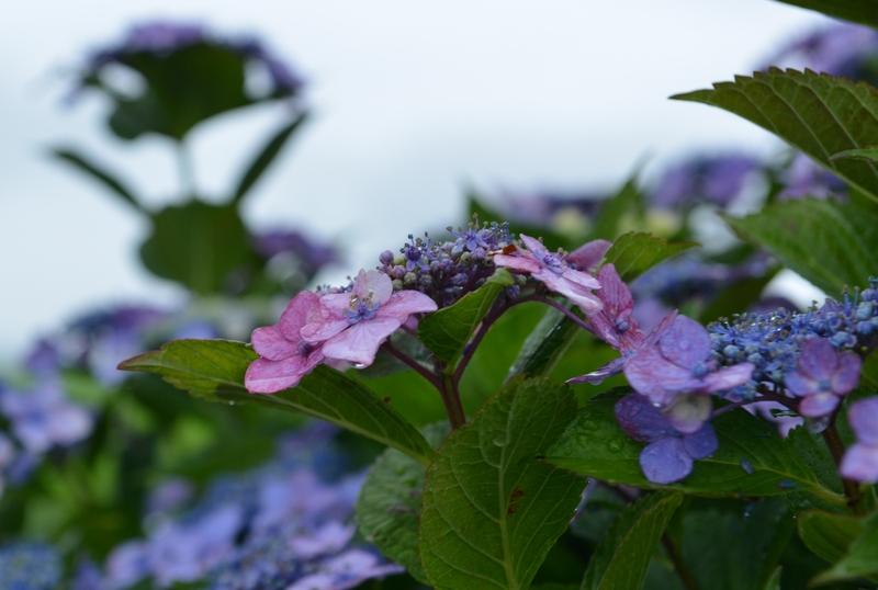 雨の紫陽花-2