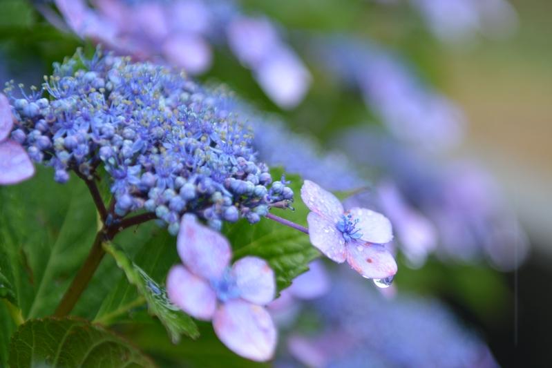 雨の紫陽花-3