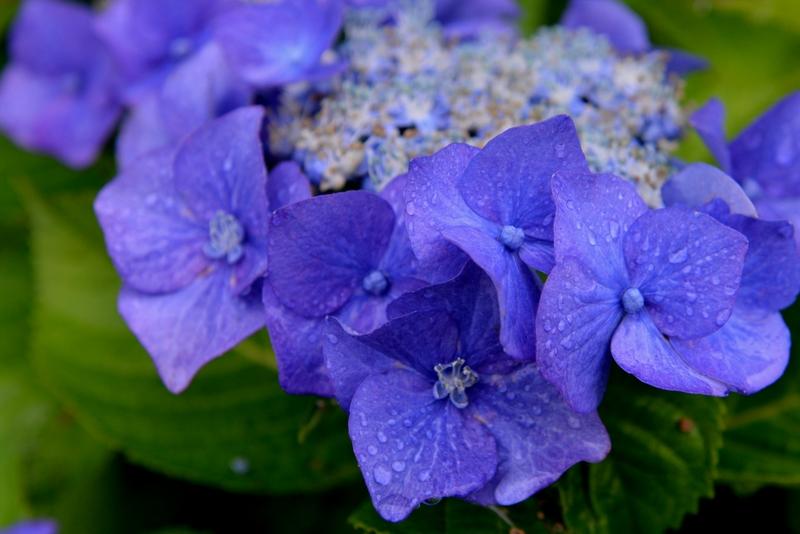 紫陽花 雨-3