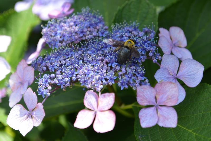 またまた紫陽花-3