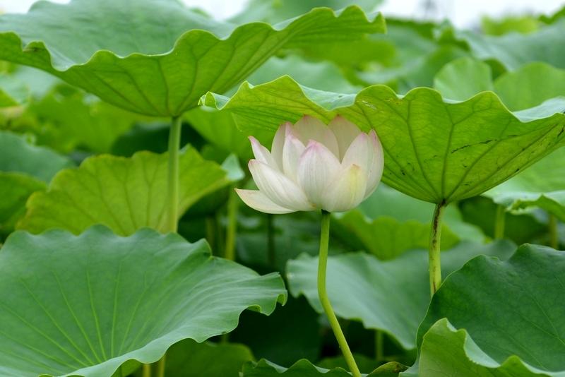 レンコン畑 花が咲き始めた-2