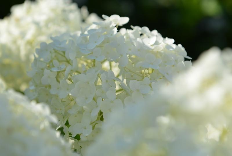 白い紫陽花-2