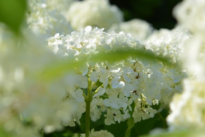 白い紫陽花-3
