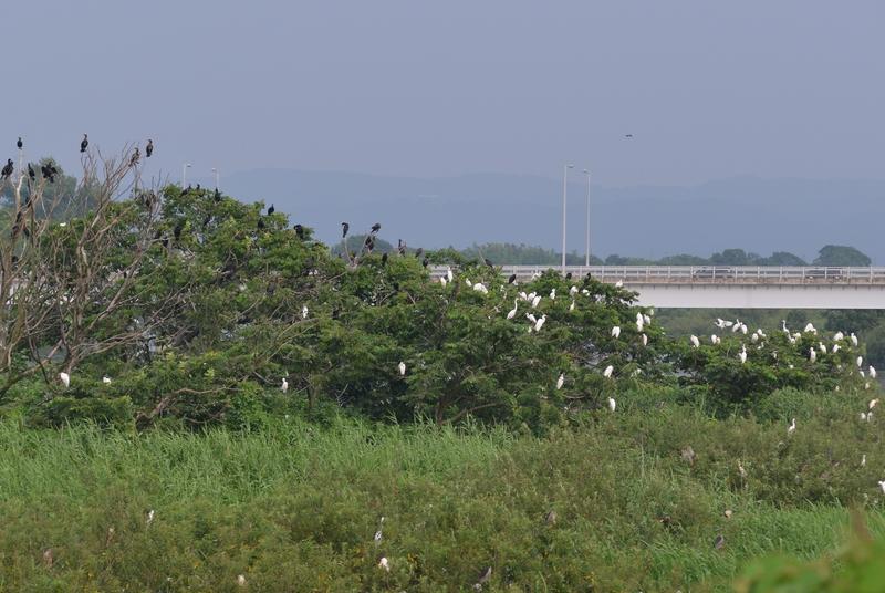 河原の鳥たち-1