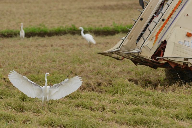 稲刈り-2
