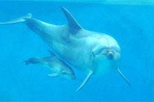 バンドウイルカの親子(新江の島水族館)