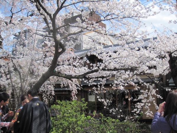 桜の下の花嫁