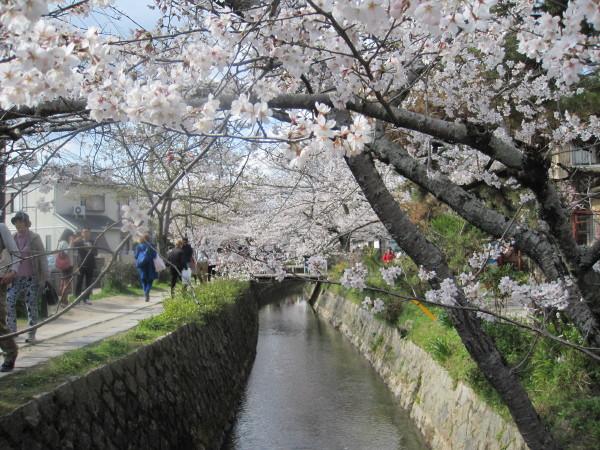 哲学の道(桜のトンネル)