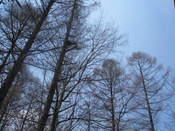 青空に伸びる落葉松