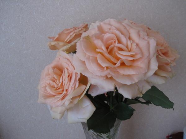 咲き切った大輪のバラ