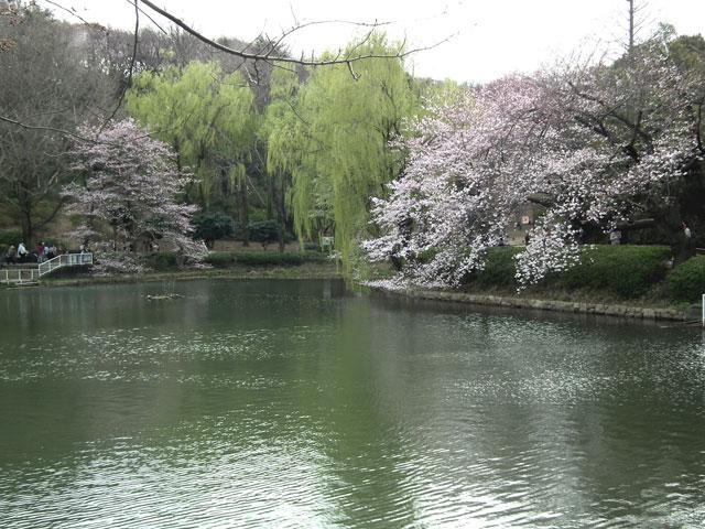 2014 三ッ池公園の桜(その1)
