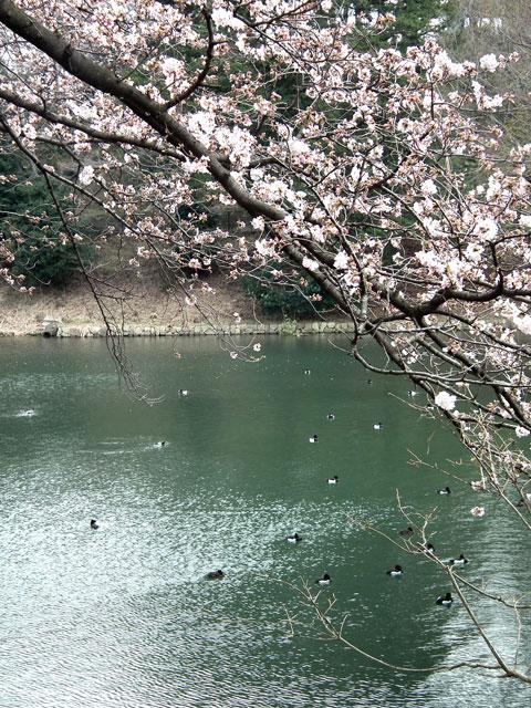 2014 三ッ池公園の桜(その2)