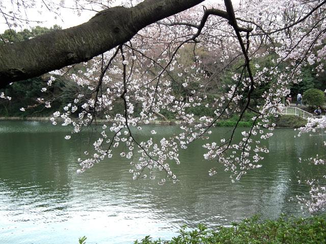 2014 三ッ池公園の桜(その3)