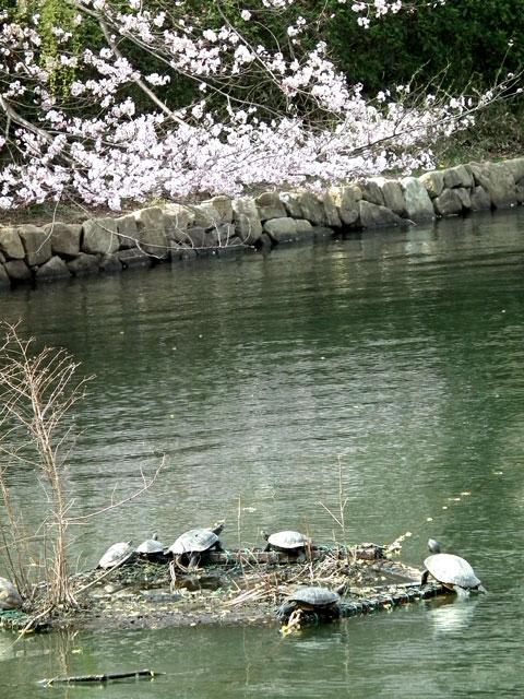 2014 三ッ池公園の桜(その4)