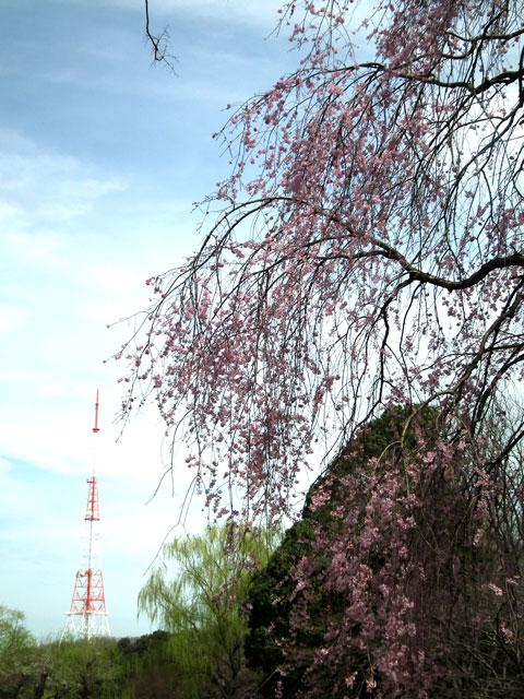 2014 三ッ池公園の桜(その6)