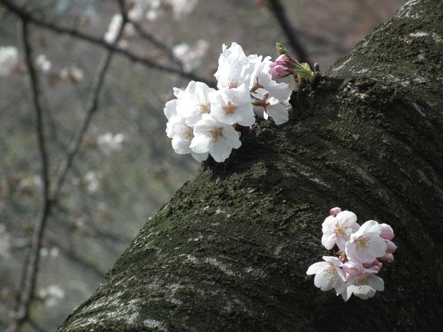 2014 三ッ池公園の桜(その7)