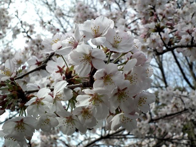 2014 三ッ池公園の桜(その9)