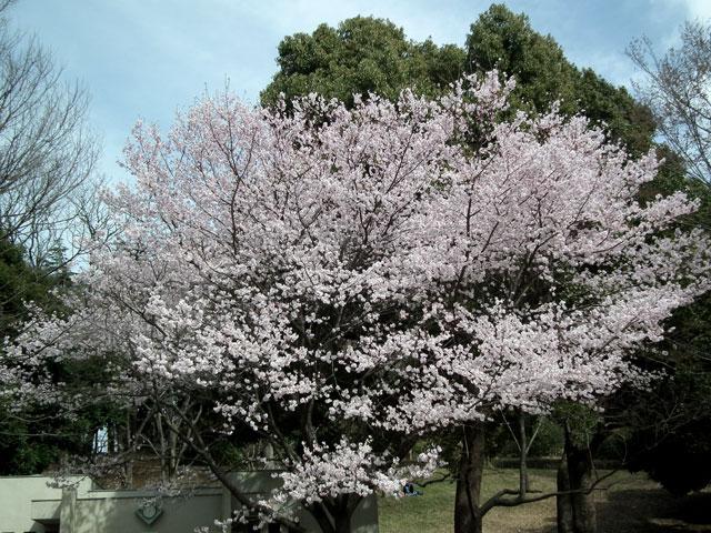 2014 三ッ池公園の桜(その10)