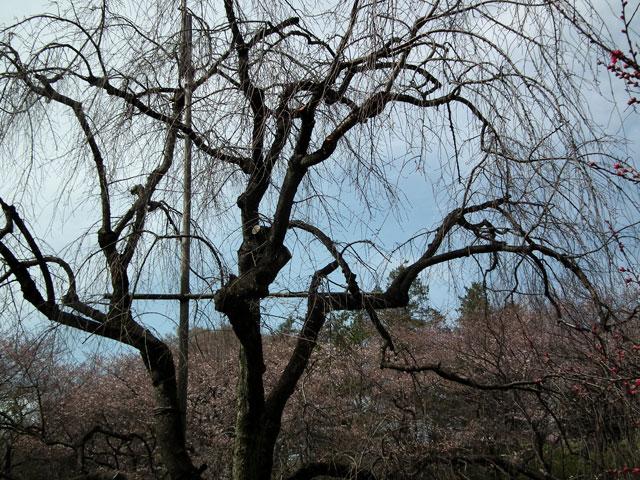 三ッ池公園 名木の枝垂桜は死んだのか・・・(1)
