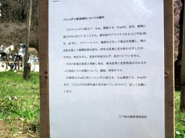 三ッ池公園 名木の紅枝垂桜は死んだのか・・・(2)