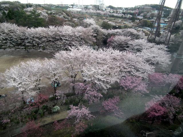 よみうりランドへのゴンドラから桜を眺める(2)