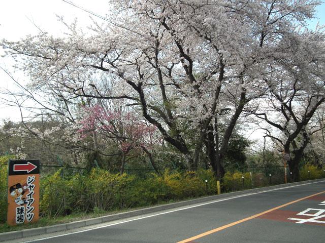 よみうりランド周辺の桜(1)