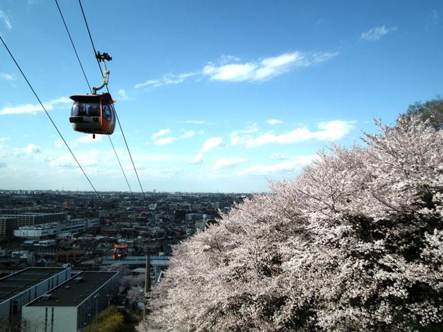 よみうりランド周辺の桜(6)