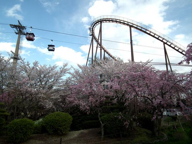 よみうりランド周辺の桜(3)
