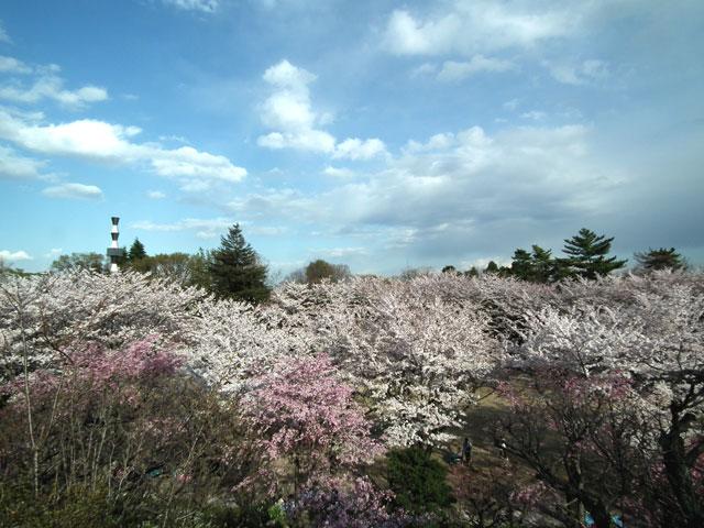 よみうりランド 聖地公園の桜(2)