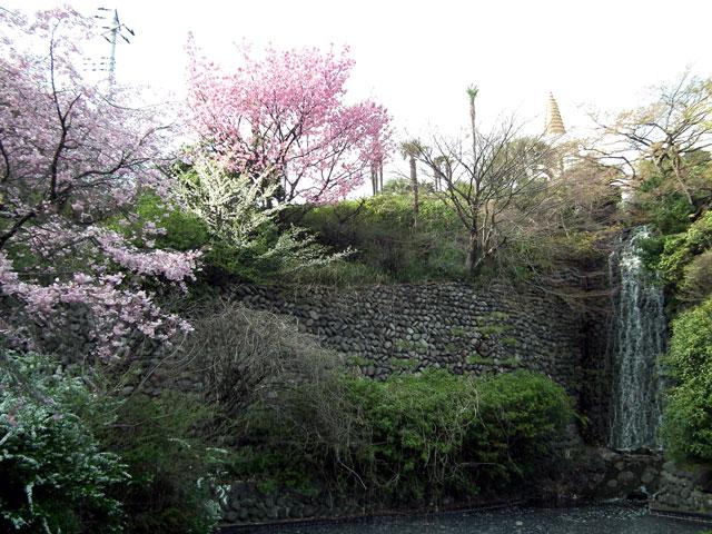 よみうりランド 聖地公園の桜(3)